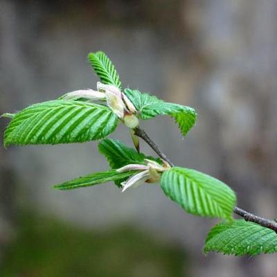 Acanthis : gemmolys : charme (Carpinus betulus), 50 ml