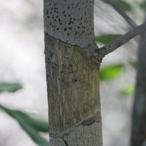 Cedrelopsis
