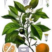 Citrus aurantium illustration