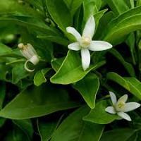 Citrus aurantium ph lotus gardens