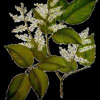 Copahifera officinalis