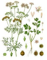Coriandre feuille (Huile essentielle), 5 ml