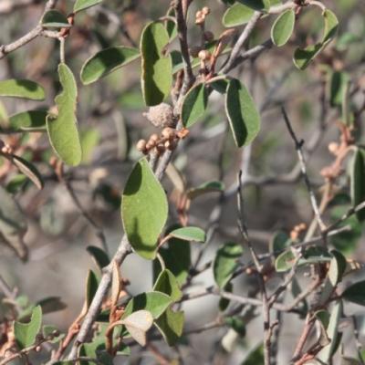 Croton cotoneaster (Huile essentielle), 5 ml