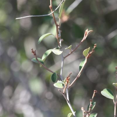 Croton geagy (Huile essentielle), 10 ml,