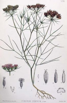 Cumin (Huile essentielle), 5 ml