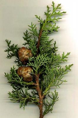 Cyprès toujours vert (Huile essentielle), 10 ml