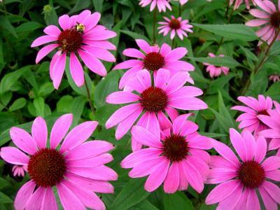 Herbiolys : Phytothérapie : Echinacée 50 ml