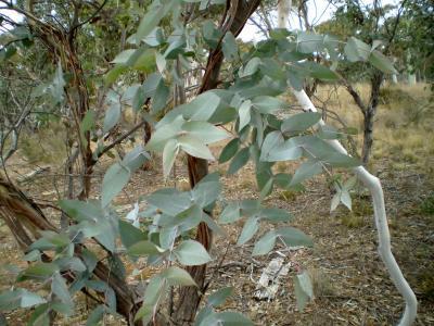 Eucalyptus mentholé (Huile essentielle), 10 ml
