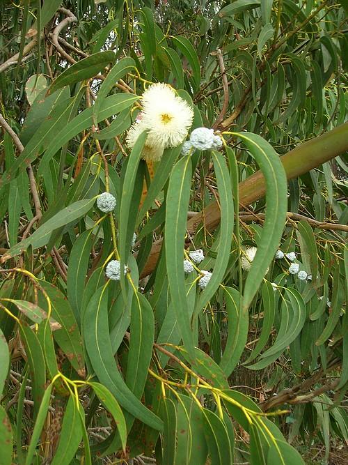 eucalyptus-globulus-gd.jpg