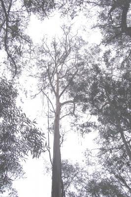 Eucalyptus smithii (Huile essentielle), 10 ml