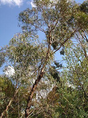 Eucalyptus polybractées (Huile essentielle), 5 ml