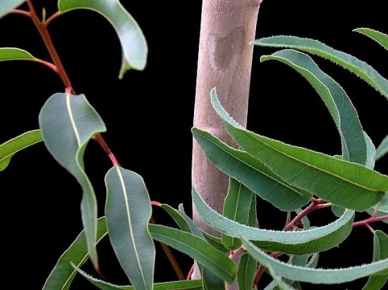 eucalyptuscitriodora.jpg