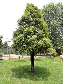 Fokienia hodginsii kunming botanical garden wikipedia