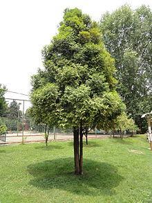 Fokienia ou Bois de Siam (Huile essentielle), 10ml