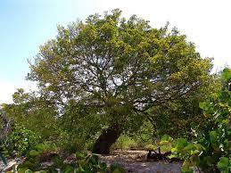 Gaïac Bois (Huile essentielle), 10 ml