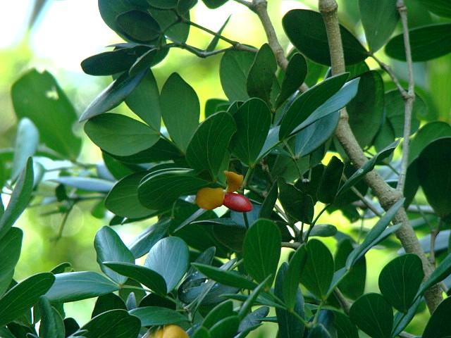 Guaiacum sanctum fruta jose