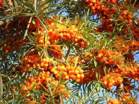 Hyppophae rhamnoides e cabanes fb img 1450373844793