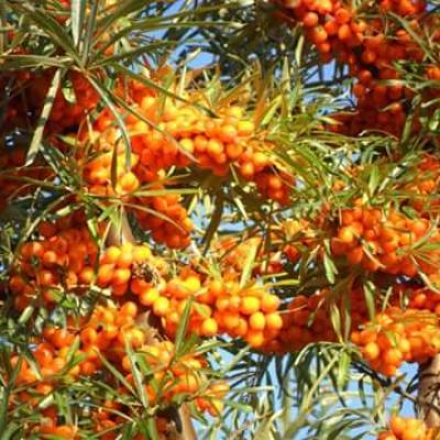 Argousier (Huile végétale), 20ml, Bio