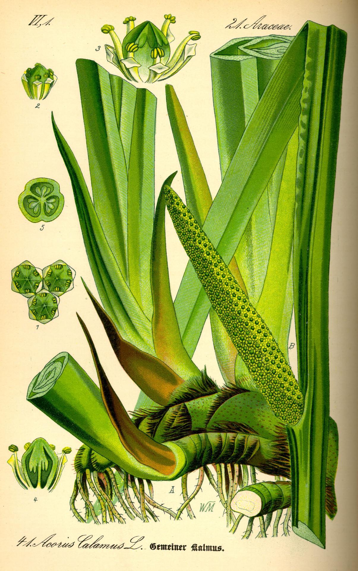Illustration acorus calamus myrtea