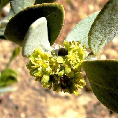 Jojoba (Huile végétale), 50 ml ou 60 ml, Bio