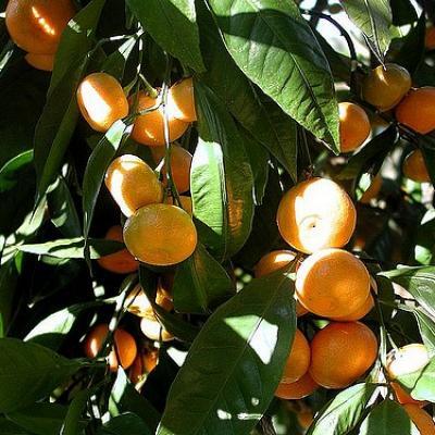 Mandarine,  (Huile essentielle), 10 ml, Bio