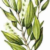 Melaleuca alternifolia illustration