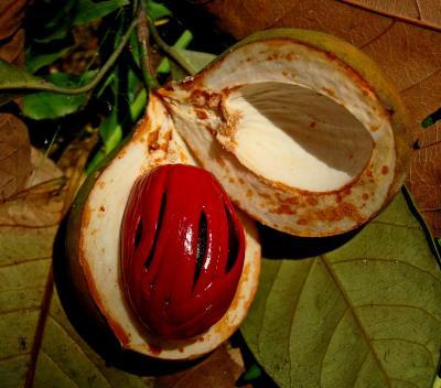 Muscade noix, sans myristicine, (Huile essentielle) 5 ml