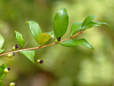 Myrte vert (Huile essentielle), 5 ml,