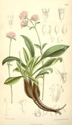 Nard de l'Himalaya (Huile essentielle), 5ml, Bio