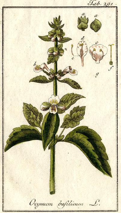 Ocimum basilicum illustration