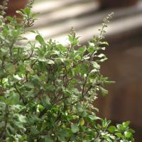 Ocimum sanctum outenuiflorum2