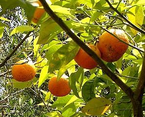 Orange amère ou Orange bigarade, (Essence) 10 ml