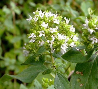Origan vert ou origan de Grèce (Huile essentielle), 5 ml