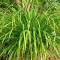 Palmarosa (Huile essentielle), 10 ml