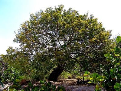 Bois de Gaïac (Huile essentielle), 10 ml