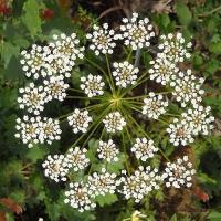Pimpinella anisum flower ph