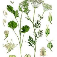 Pimpinella anisum illustration 2