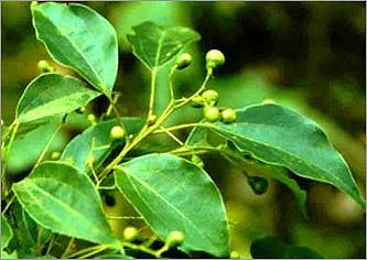 Ravintsara (Huile essentielle), CT 1,8-Cinéole, 10 ml