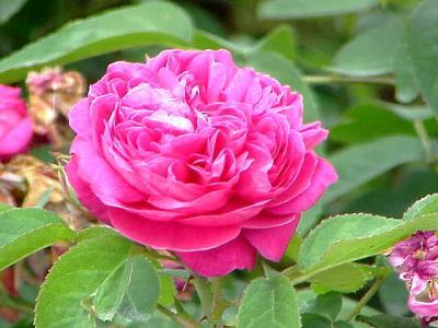 Rose de Damas (Huile essentielle), 2 ml