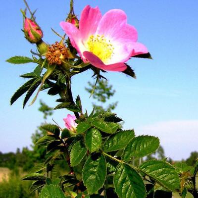 Rose musquée du Chili (Huile végétale), bio, 50 ml