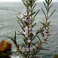 rosmarinus-officinalis-07-02-2001-2.jpg