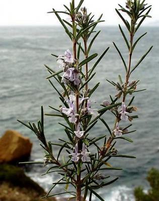 Sirop floral Romarin, 250 ml, Hautes-Alpes