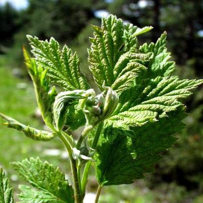 Acanthis : gemmolys : framboisier (Rubus idaeus), 50 ml