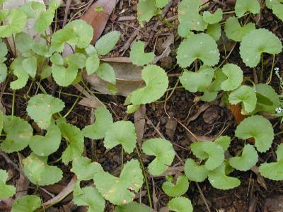 Huile Centella asiatica (macérat huileux) 30 ml
