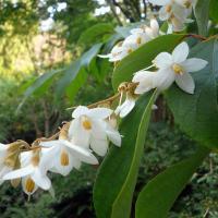 Styrax tonkinensis ph univ columbia