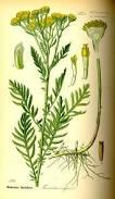 Camomille bleue ou Tanaisie (Huile essentielle), 5 ml