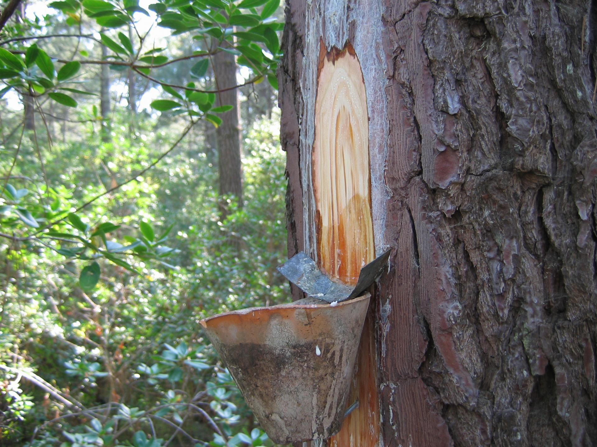 Terebenthine pinus sylvestris resine oshadhi 2