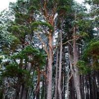 Terebenthine pinus sylvestris resine oshadhi 3