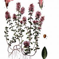 Thymus serpyllum panche botanique