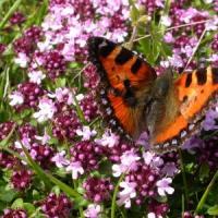 Thymus serpyllum photo tela botanica img 000179650crs